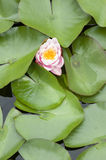 Water lily flowers Royalty Free Stock Photography