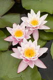 Water lily flowers Stock Images