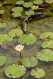 Water lily flowers. Water lilies on a pond in the Terra Nostra garden, Furnas, Azores islands, Portugal Royalty Free Stock Photography