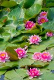 Water lily flowers. The many pink water lily flowers are blooming in pond Royalty Free Stock Photography