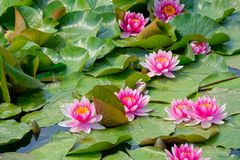 Water lily flowers. The many pink water lily flowers are blooming in pond Royalty Free Stock Image
