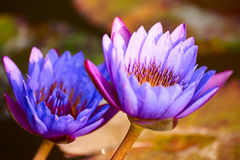 The water lily flowers Royalty Free Stock Photography