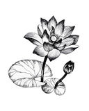 Water lily flowers on pond black and white illustration Stock Photos