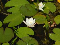Water lily flowers on a summer day. Water lily flowers on a sunny summer day Royalty Free Stock Image
