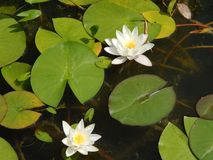 Water lily flowers on a summer day. Water lily flowers on a sunny summer day stock photos