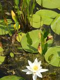 Water lily flowers on a summer day. Water lily flowers on a sunny summer day stock photo