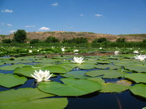 Water lily flowers sunlit on lake. In water is reflection of sky and hill Royalty Free Stock Photography