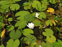 Water lily flowers on a summer day. Water lily flowers on a sunny summer day Royalty Free Stock Photography