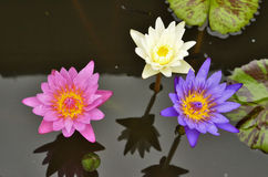 Water lily flowers in water Stock Photo