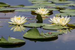 Water lily flowers stock photography
