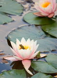 Water lily and frog. Water lily pink blossom in aqua park with frog Stock Photo
