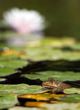 Water Lily with a Frog Stock Photos