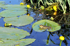 Water lily and frog Stock Photography