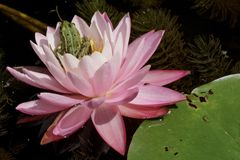 Water Lily, Frog, Pond, Water Royalty Free Stock Images