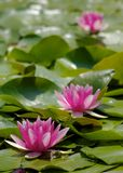 Water Lily and Frog. Three red water lily flowers and a frog with green leaf background Stock Photos