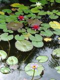 Water lily garden. With flowers and leaves Royalty Free Stock Photography