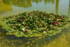 The water lily of a garden - Maria Luisa, Seville Stock Photography