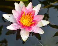 Water Lily. On garden pond Royalty Free Stock Images