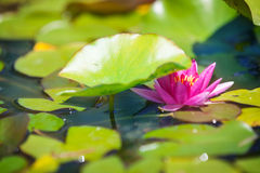 Water lily in garden pond Royalty Free Stock Photo
