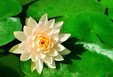 Water Lily. In garden pond with narrow dof royalty free stock photography
