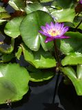 Water lily in garden pond. This photo was taken in Penang botanical garden Stock Photo