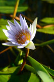 Water lily in the Garden Route, South Africa Stock Images