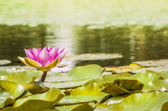 Water lily in garden , tonned Royalty Free Stock Photos