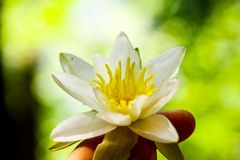 Water Lily in the girl`s hand royalty free stock image