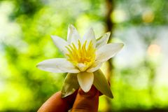 Water Lily in the girl`s hand stock image
