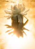 Water lily  with golden sunlight in the morning Stock Photos