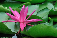 Water lily among green leaf Stock Image