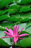 Water lily and green leaf Stock Image