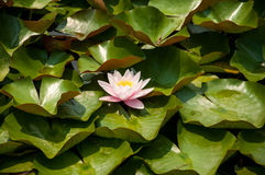 Water lily on green leaf background Stock Photos