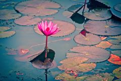 Water lily i reflection water. royalty free stock photo