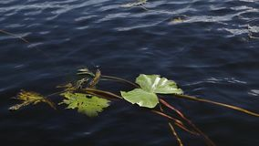 Water lily green leaves floating on lake surface. Water lily green leaves floating on dark blue lake surface sunny summer day stock footage