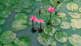 Water lily on green pond Stock Photography