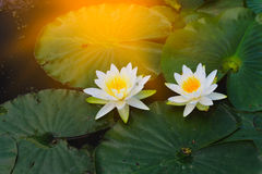 Water lily, green water plant leaves. Abstract natural background Stock Photography