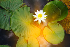 Water lily, green water plant leaves. Abstract natural background Royalty Free Stock Images