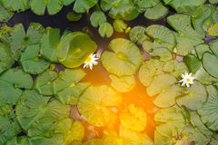 Water lily, green water plant leaves. Abstract natural background Stock Image