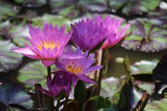 Water Lily grouping Stock Image