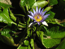 Free Water Lily In Bloom Stock Photos - 655813