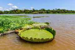 Free Water Lily In The Amazon Rainforest, Brazil Royalty Free Stock Photo - 62267585