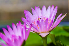 Water Lily with insects Stock Photos