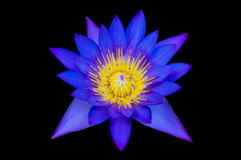Water lily isolated Stock Images