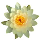 Water Lily Isolated Stock Image