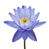Water lily isolated on white. Background Royalty Free Stock Photo