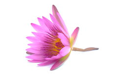 Water-lily. Water lily. Isolated on white background Royalty Free Stock Images