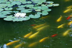 Water lily and koi carp Stock Photos