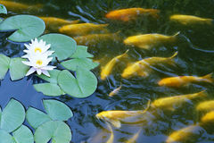 Water lily and koi carp Stock Photography