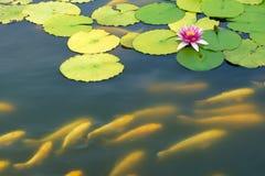 Water lily and koi carp Royalty Free Stock Photo